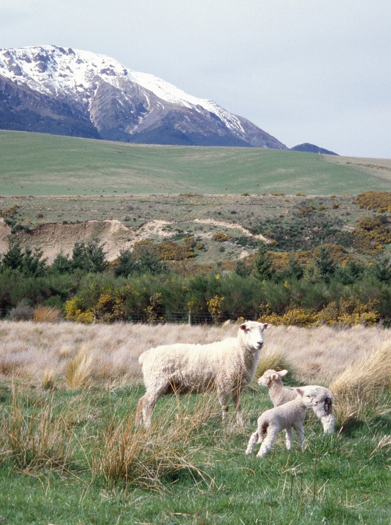 Once a Land of Birds: Sheep in the foothills of the Southern Alps, South Island, New Zealand (© Magi Nams)