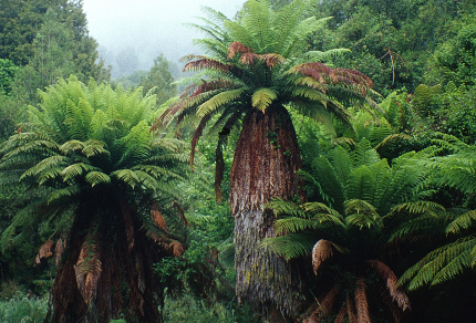 This Dark Sheltering Forest: Tree Ferns in Tongariro Forest Conservation Area, North Island, New Zealand (© Vilis Nams)