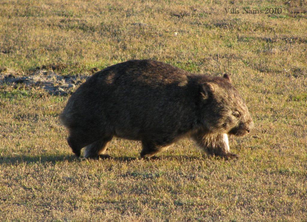 Australian Mammals: Common Wombat (Vombatus ursinus), Narawntapu National Park, Tasmania (© Vilis Nams)