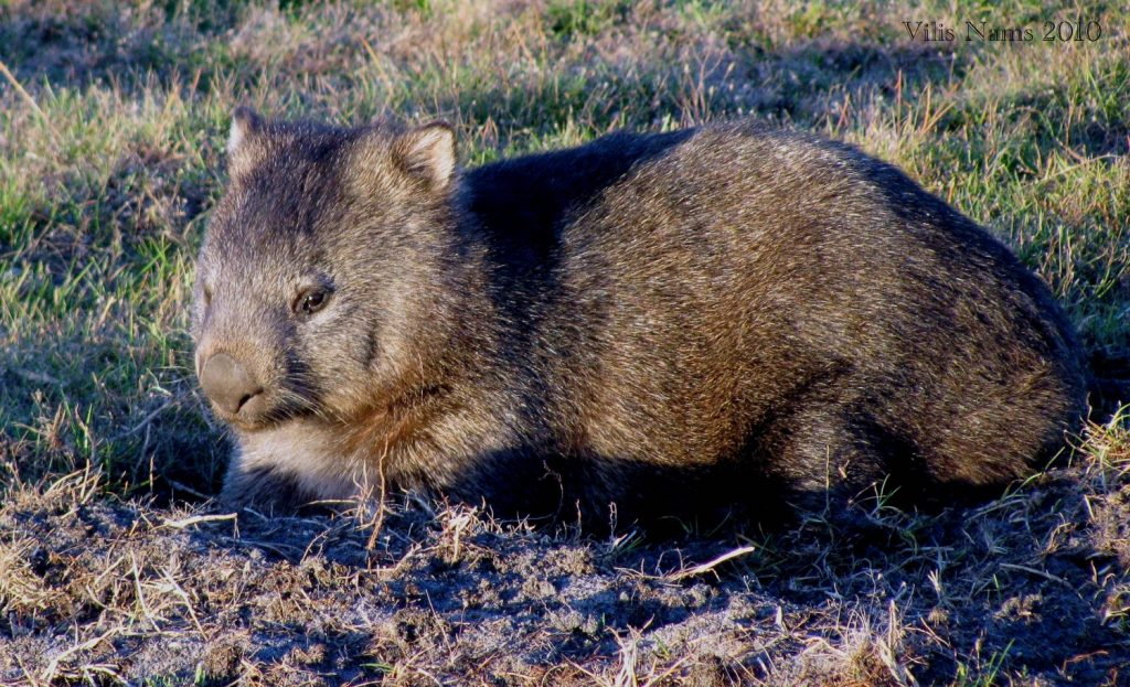 Australian Mammals: Common Wombat (Vombatus ursinus) on Dried Plant Nest, Narawntapu National Park, Tasmania (©Vilis Nams)