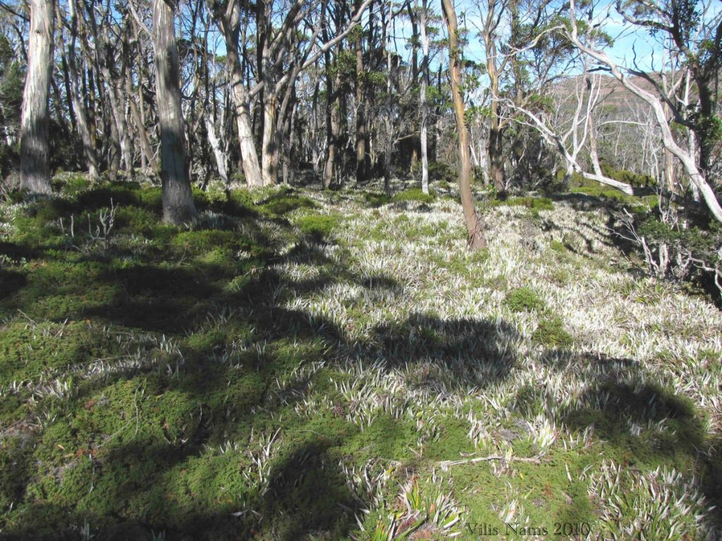Australian Mammals: Common Wombat Habitat at Wombat Moor, Mount Field National Park, Tasmania (©Vilis Nams)