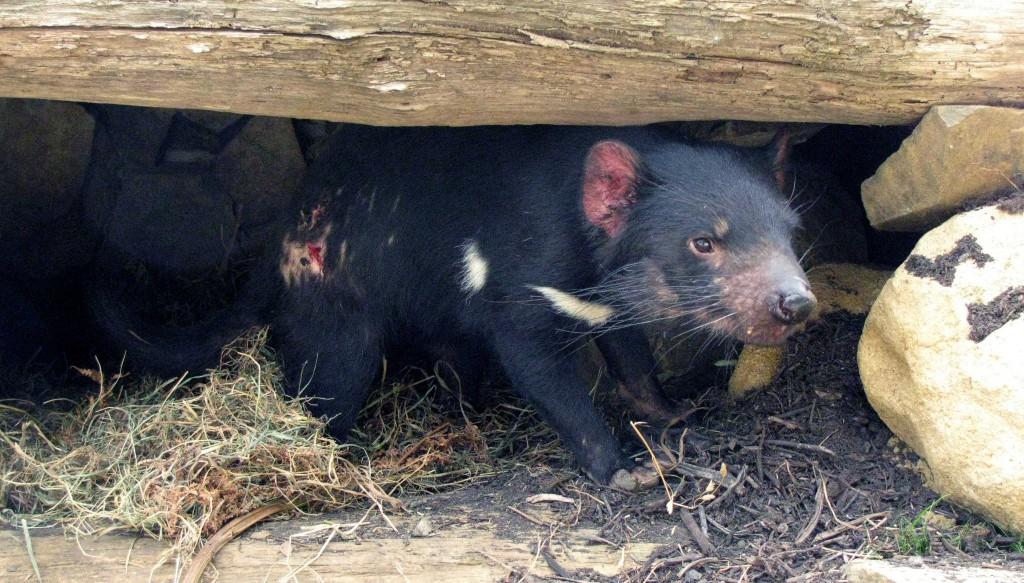 Tasmanian Devil (© Vilis Nams)