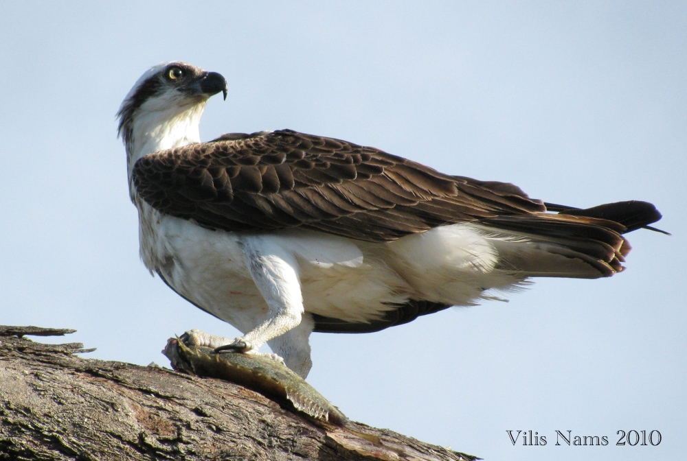 Love Your Planet: Join in the Great Backyard Bird Count: Osprey (Pandion haliaetus), Queensland, Australia (© Vilis Nams)