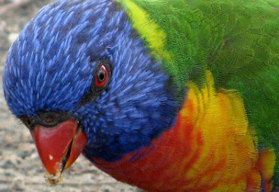 A Year in Australia: Early Naturalists Inspired This Blog: Rainbow Lorikeet (Trichoglosssus moluccanus), Queensland, Australia (© Magi Nams)
