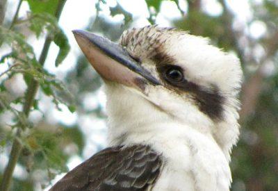 Australian Birds: Laughing Kookaburra (Dacelo novaeguineae) (©Villis Nams)