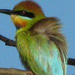 Australian Birds: Rainbow Bee-eater (Merops ornatus) (© Magi Nams)
