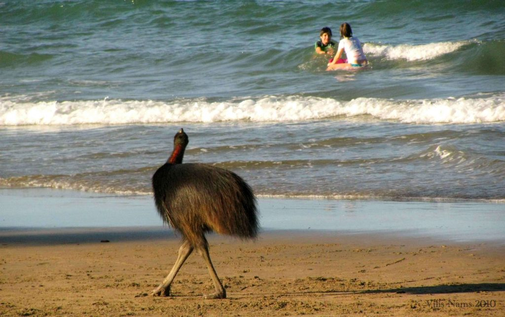 Australian Birdlife: Southern Cassowary (Casuarius casuarius) and Swimmers at Etty Bay, Queensland (©Vilis Nams)