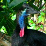 Southern Cassowary: Immature Southern Cassowary (©Vilis Nams)