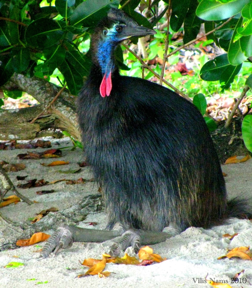 Southern Cassowary: Immature Southern Cassowary resting at Etty Bay, North Queensland, Australia (©Vilis Nams)