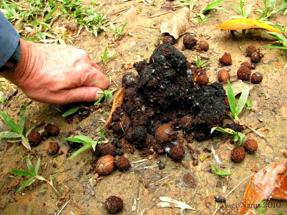 Southern Cassowary: Southern Cassowary Scat Showing Fruit Seeds (©Magi Nams)