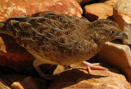 Love Your Planet: Help Fight the Feral Cat Crisis: Little Button-quail (©Vilis Nams)