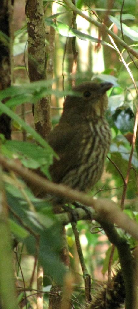 Tooth-biled Bowerbird
