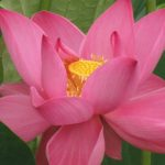 "Exploring Faith: How a Holy Spirit ""Mirror Moment"" Changed My Life: Lotus Lily (© Magi Nams)"