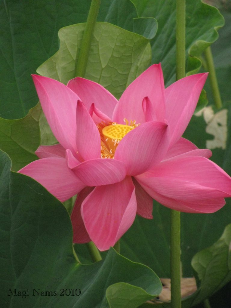 Exploring Faith: How a Holy Spirit Mirror Moment Changed My Life: Lotus Lily Flower (© Magi Nams)