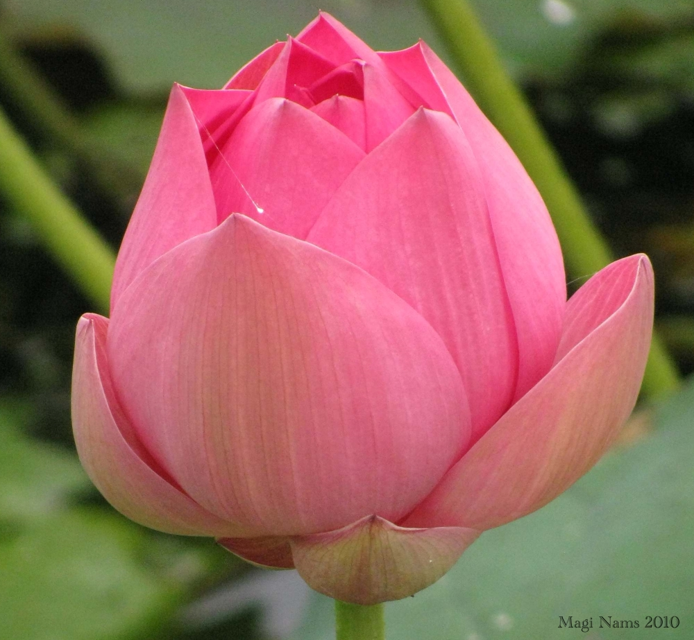 Exploring Faith: How a Holy Spirit Mirror Moment Changed My Life: Lotus Lily Bud (© Magi Nams)