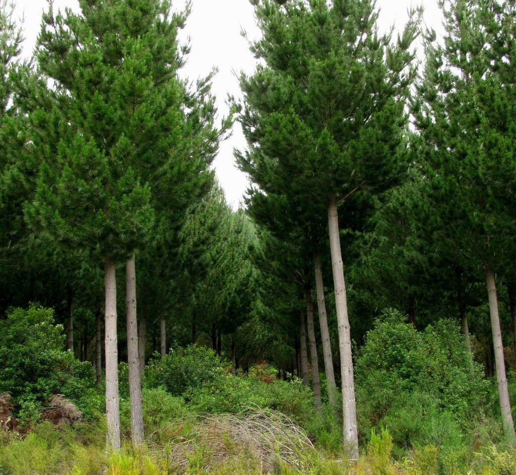 Pine Plantation, Motutere Bay (© Vilis Nams)