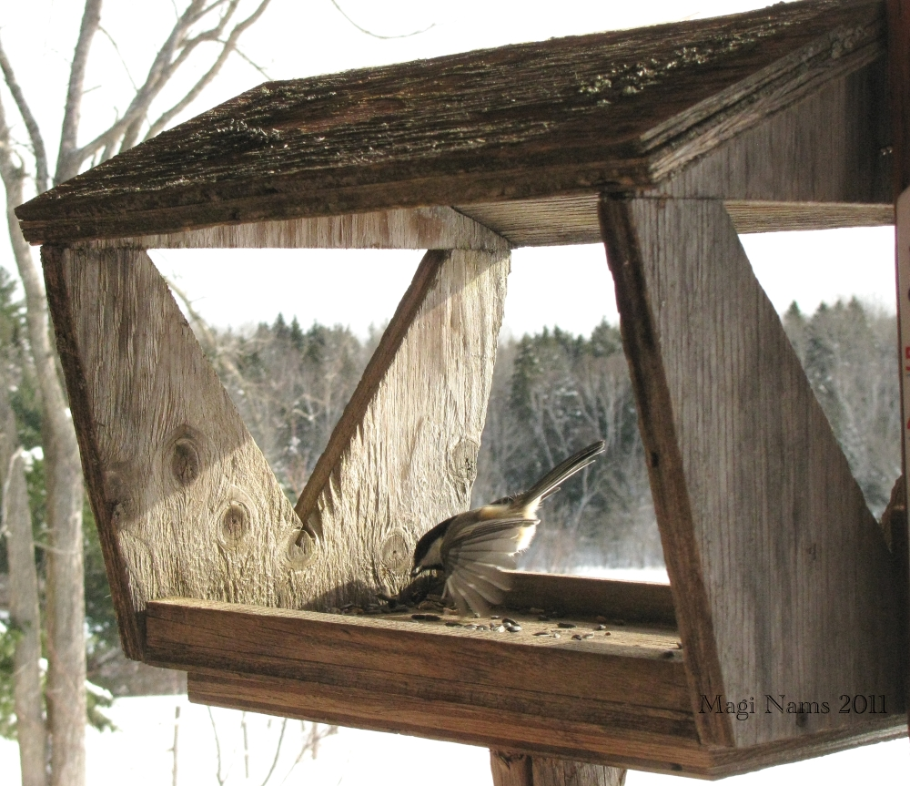 Canadian Birds: Black-capped Chickadee (Poecile atricapillus) in Feeder (© Magi Nams)