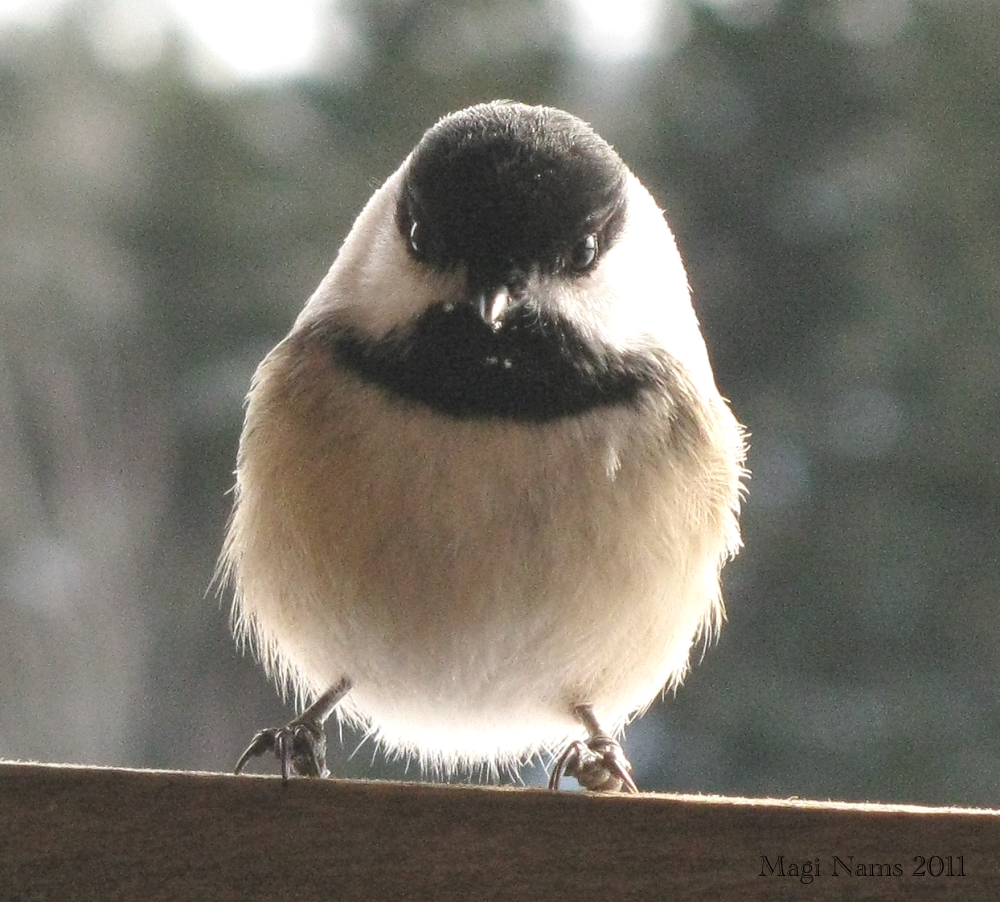Canadian Birds: Black-capped Chickadee (Poecile atricapillus) (© Magi Nams)