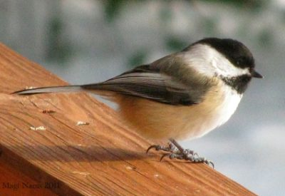 Black-capped Chickadee: Black-capped Chiackadee (© Magi Nams)