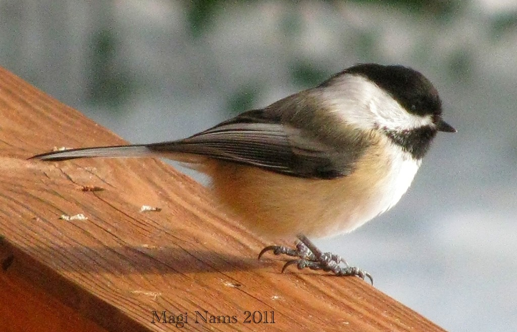 7 Ways to Enrich Your LIfe Through Birding: Black-capped Chickadee, Nova Scotia, Canada (© Magi Nams)