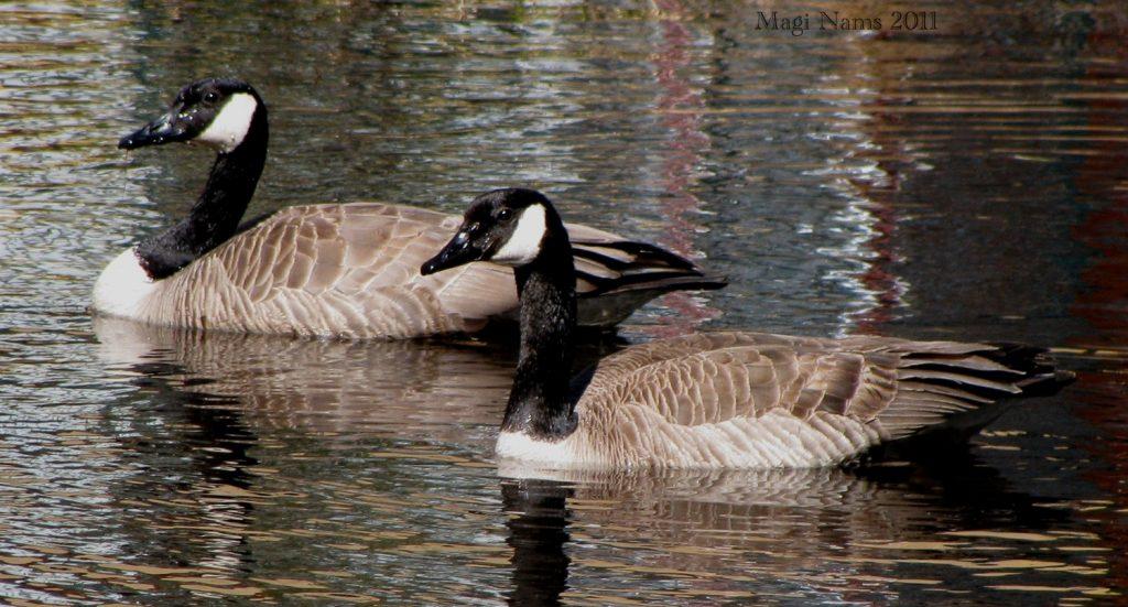 Canada Geese, Banff National Park, Canada (©Magi Nams)