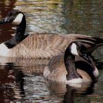 Canada Goose: Canada Geese, Banff National Park, Alberta, Canada (©Magi Nams)
