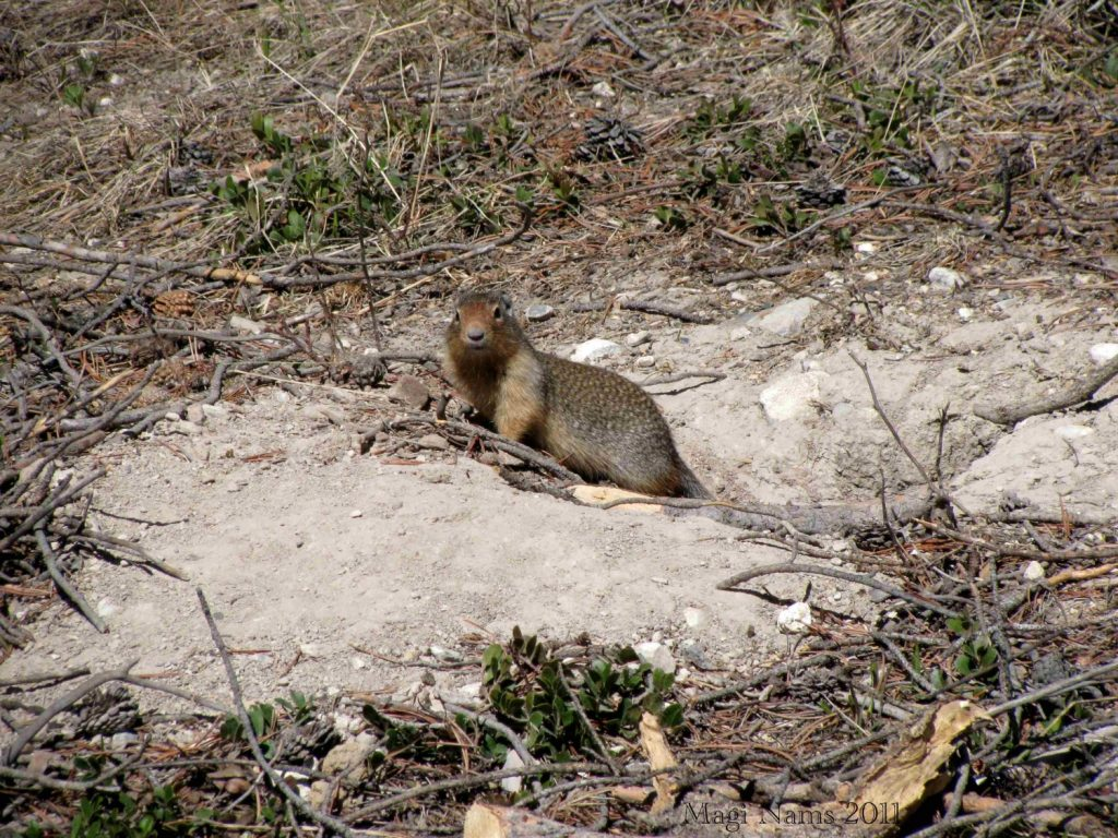Canadian Mammals: Columbian Ground Squirrel (Urocitellus columbianus) at Burrow in Banff National Park, Alberta (©Magi Nams)