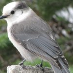 Grey Jay: Grey Jay at Lake Louise, Banff National Park ( © Vilis Nams)