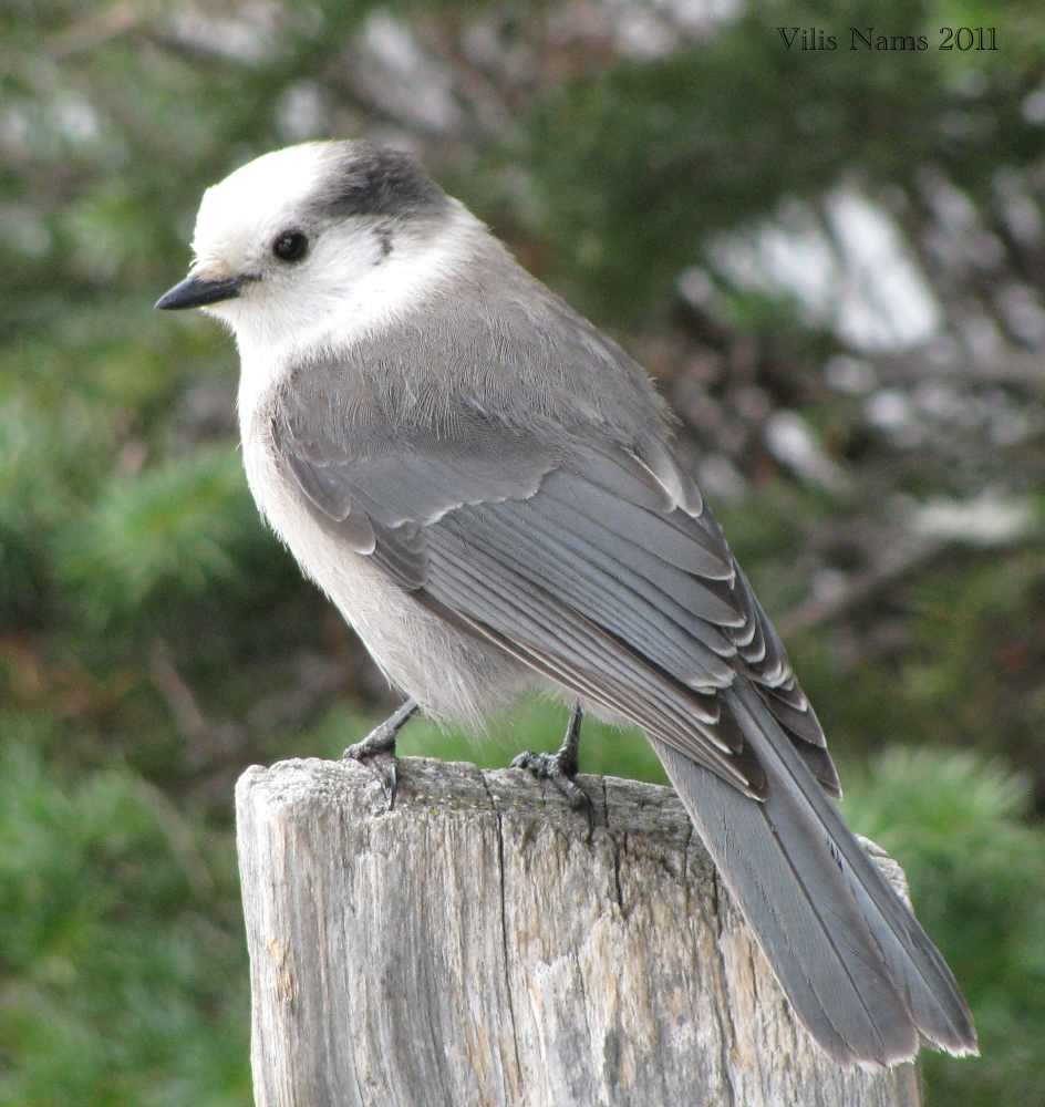 Canadian Birds: Grey Jay (Perisoreus canadensis) at Lake Louise, Banff National Park, Alberta (© Vilis Nams)