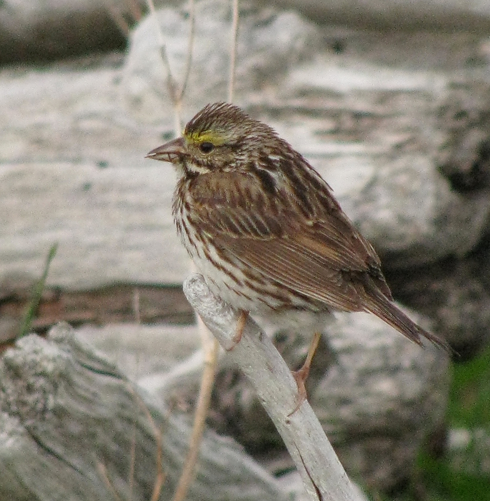 Love Your Planet: Help Fight the Feral Cat Crisis: Savannah Sparrow, Newfoundland and Labrador, Canada