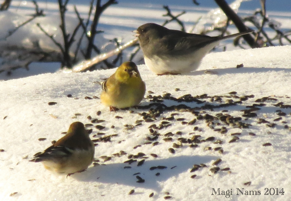 Love Your Planet: Join in the Great Backyard Bird Count: American Goldfinches (Spinus tristis) and Dark-eyed Junco (Junco hyemalis), Nova Scotia, Canada (© Magi Nams)