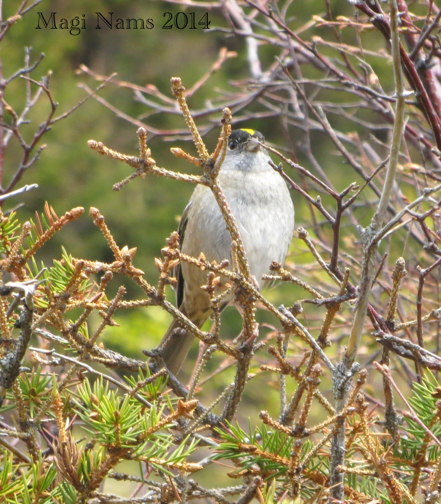 7 Ways to Enrich Your LIfe Through Birding: Golden-crowned Sparrow, Flattop Peak, Chugach State Park, Alaska, U.S.A. (© Magi Nams)