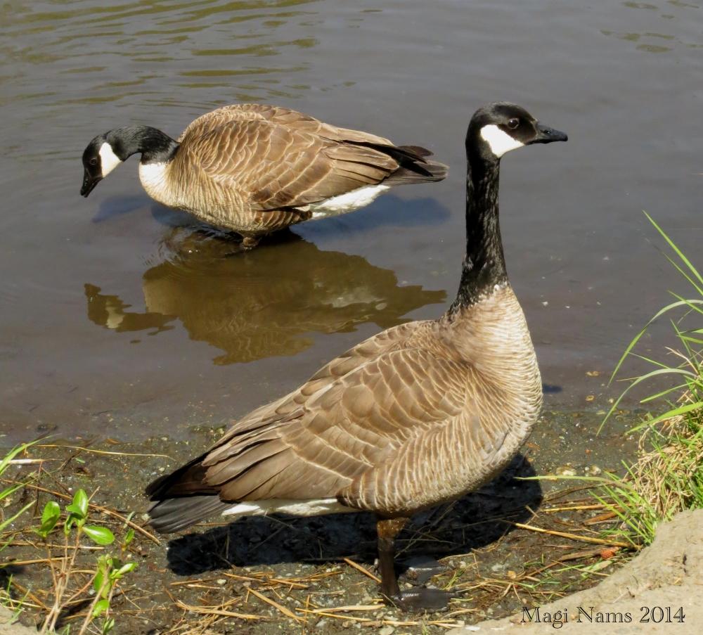 Canada Goose: Canada Geese, Anchorage, Alaska, USA (©Magi Nams)