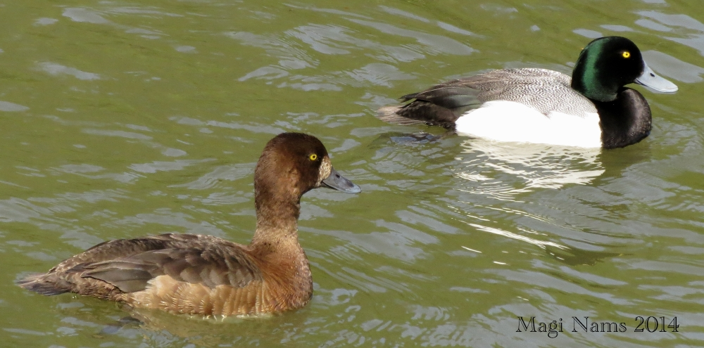 Love Your Planet: Join in the Great Backyard Bird Count: Greater Scaup (Aythya marila), Alaska, U.S.A. (© Magi Nams)