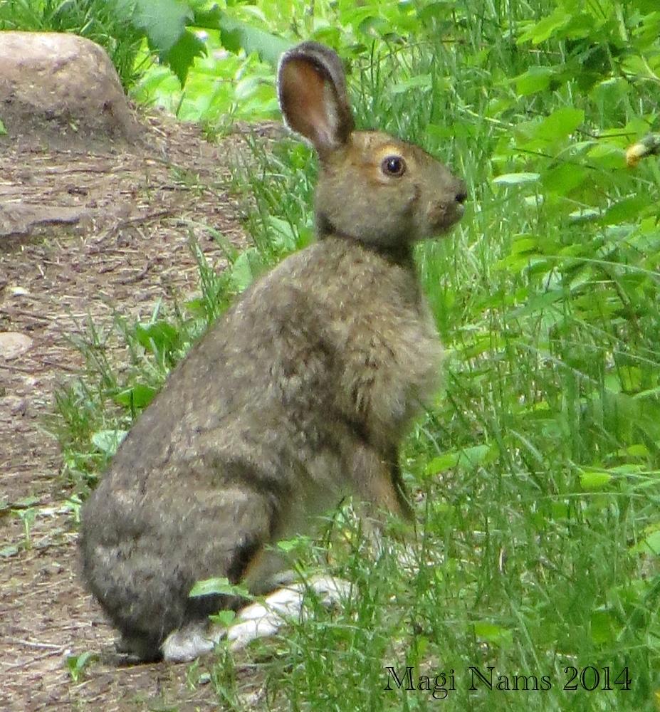 Hiking in Canada: Elk Island National Park, Alberta; Snowshoe Hare (Lepus americanus) (© Magi Nams)