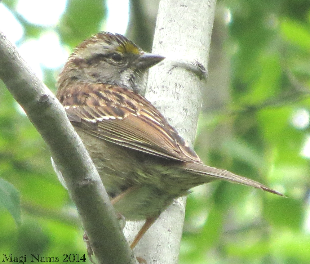 Elk Island National Park: White-throated sparrow (Zonotrichia albicollis), tan-striped morph, Elk Island National Park (© Magi Nams)