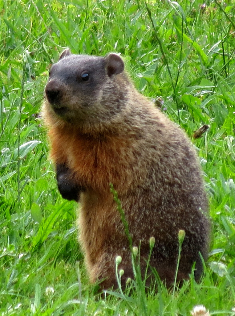 Groundhogs and Waiting for Spring: Groundhog (Marmota monax) (© Magi Nams)