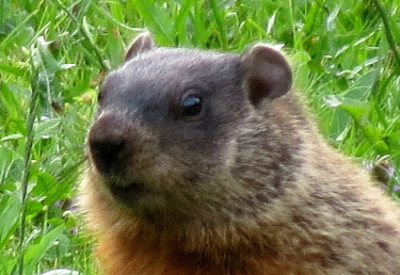 Groundhogs and Waiting for Spring: Groundhog (Marmota monax) (© Magi Nams)
