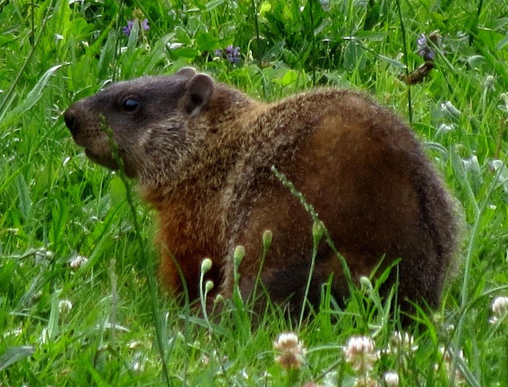 Groundhogs and Waiting for Spring: Groundhog (Marmota monax) in my backyard (© Magi Nams)