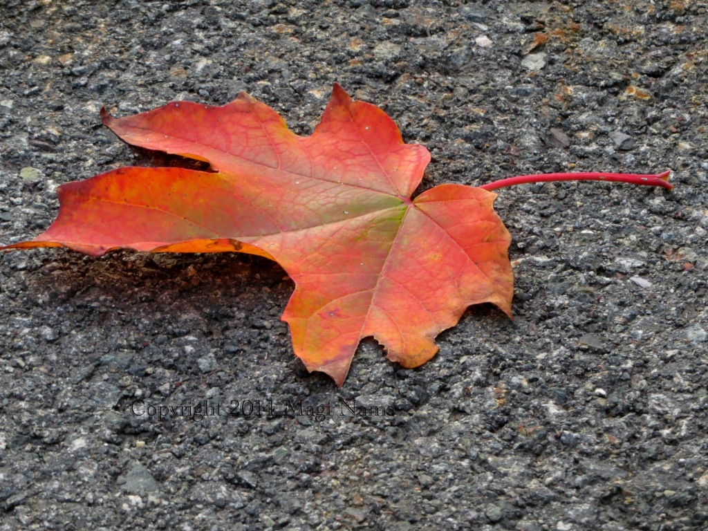 Sugar Maple Leaf on Asphalt