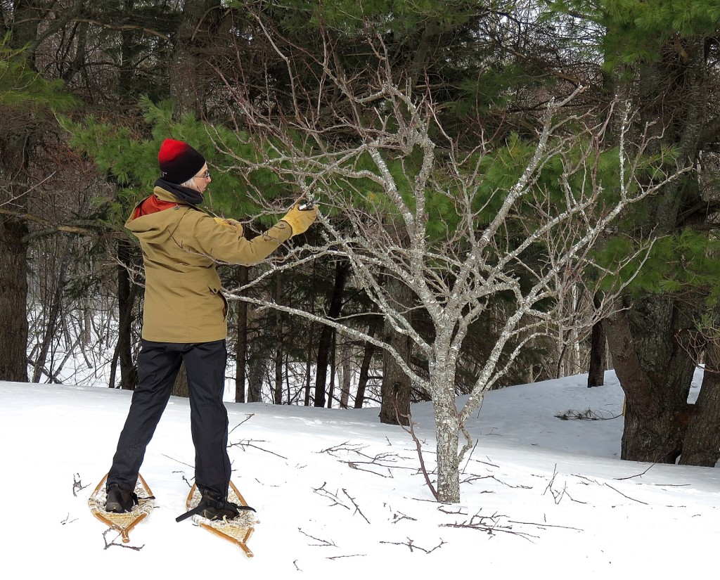 Pruning a plum tree on snowshoes (© Vilis Nams)