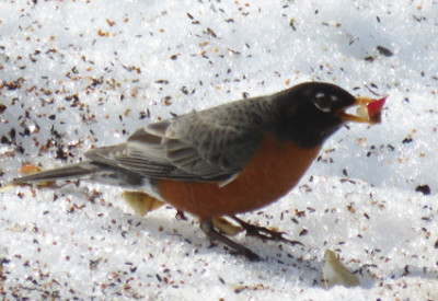 Apples for Robins: American Robin (Turdus migratorius) Eating Apple Piece (© Magi Nams)