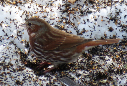 Fox Sparrows Migrating: Fox Sparrow (Passerella iliaca) (© Magi Nams)