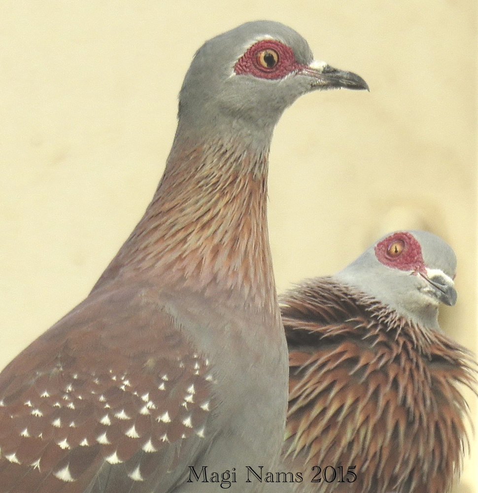 Six Months in South Africa: Birding at Rhodes University: Speckled Pigeons (Columba guinea) (© Magi Nams)