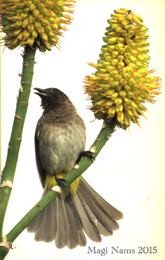 Six Months in South Africa: Birding at Rhodes University: Dark-capped Bulbul (Pycnonotus tricolor) (© Magi Nams)