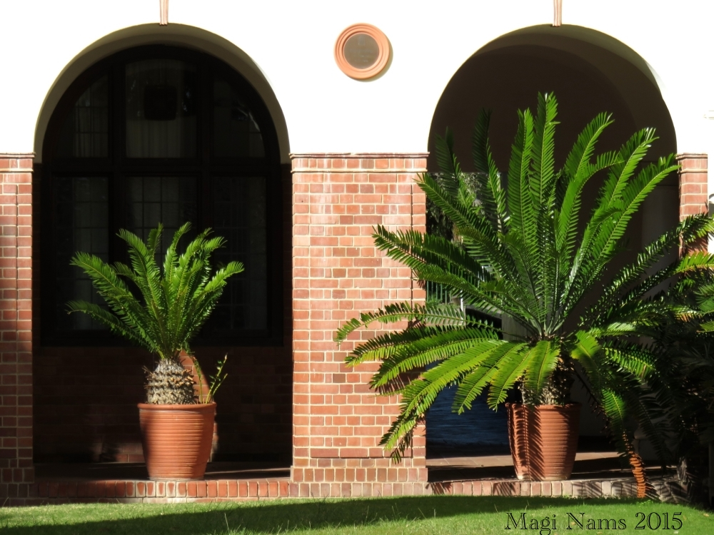 Six Months in South Africa: First Impressions of Grahamstown: Cycads on Rhodes University Campus (© Magi Nams)