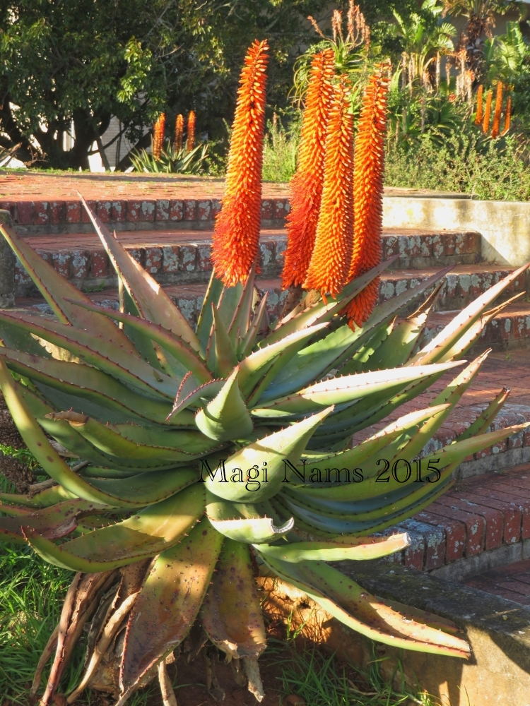 Six Months in South Africa: First Impressions of Grahamstown: Aloe in Flower in Grahamstown (© Magi Nams)