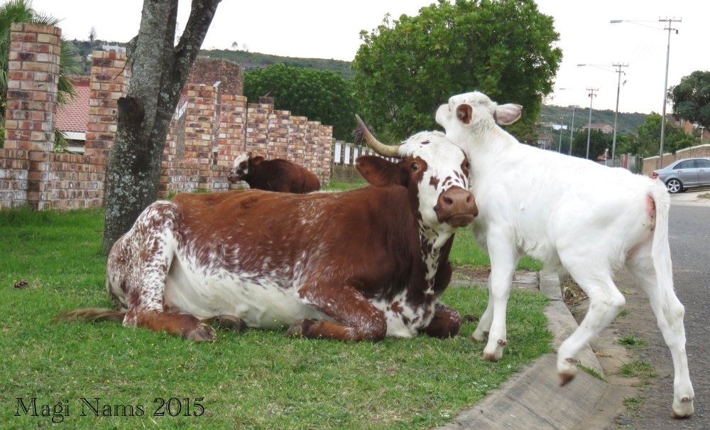 Six Months in South Africa: First Impressions of Grahamstown: Cattle in Residential Grahamstown (© Magi Nams)
