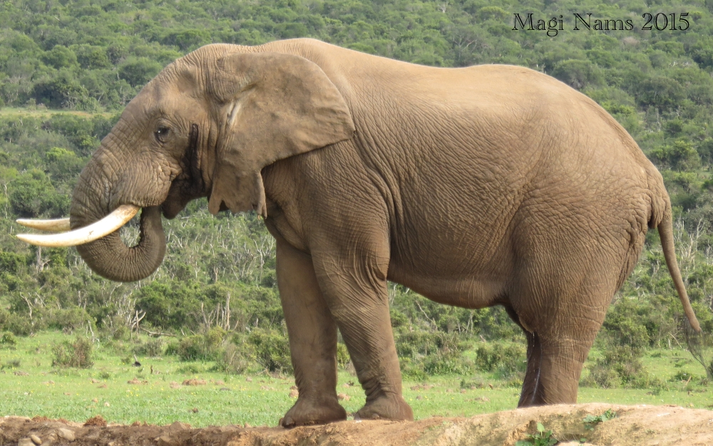 Six Months in South Africa: Land of Plenty Big Animals: African Elephant (Loxodonta africana) (© Magi Nams)