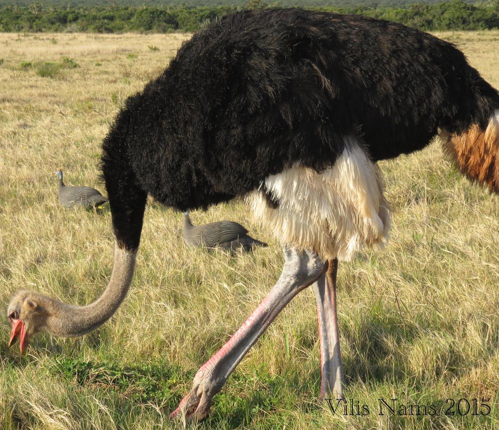 Common Ostrich (© Vilis Nams)